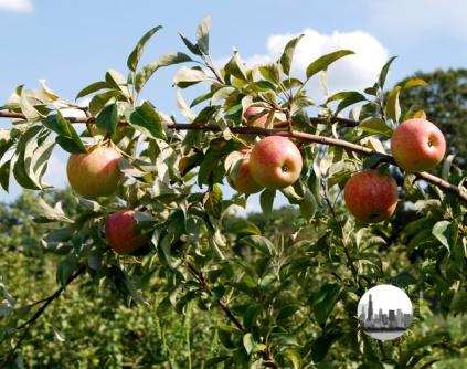 mele da cogliere