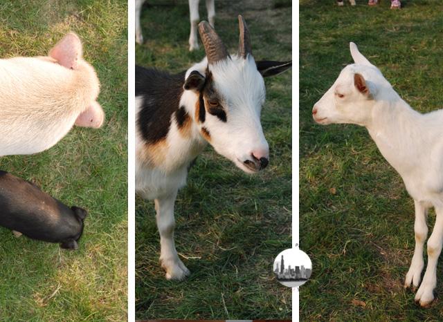 Foto animali da fattoria