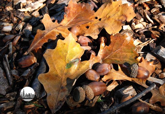 foglie e ghiande in autunno